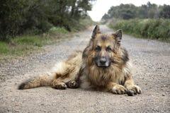 Собака немецкой овчарки Стоковое Изображение RF
