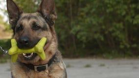 Собака немецкой овчарки сток-видео