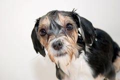 собака немногая влажное Стоковое Изображение RF