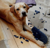 собака непослушная Стоковое Фото