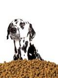 Собака не хочет съесть сухую еду Он предпочитает мясо и естественное pro Стоковая Фотография RF