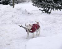 собака носит ручку стоковые фотографии rf