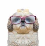 Собака носит стекла он имеет очень плохое зрение Стоковые Изображения RF