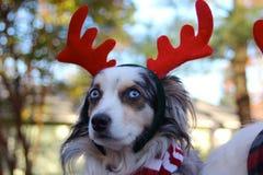 Собака нося красные Antlers стоковая фотография rf