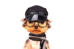 Собака нося крышку и стекла с шарфом Стоковое Изображение RF