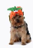 Собака нося costume halloween. Стоковая Фотография