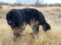 Собака Ньюфаундленда Стоковое Изображение