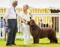 Собака Ньюфаундленда будучи рассуженным на выставке графства Стаффордшира Стоковые Фото