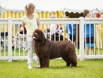 Собака Ньюфаундленда будучи рассуженным на выставке графства Стаффордшира Стоковое Изображение