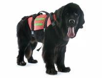 Собака Ньюфаундленда спасения Стоковое Изображение