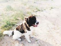 Собака Ньюфаундленда Стоковые Фото