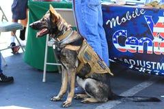 Собака обслуживания немецкой овчарки ветерана Стоковые Изображения