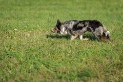 Собака овец бежит налево на табунить пробу Стоковые Изображения RF