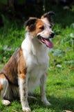 Собака овец Коллиы Стоковые Изображения RF
