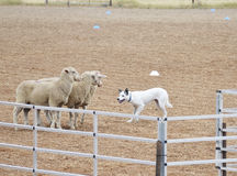 Собака овец Стоковые Изображения RF