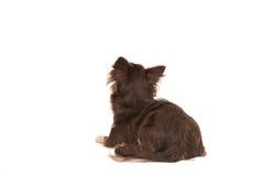 Собака довольно коричневого чихуахуа взрослая лежа вниз смотрящ вверх увиденный от Стоковые Изображения