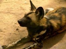собака одичалая Стоковое Изображение