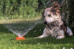 Собака озадаченная спринклером Стоковые Изображения RF