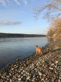 Собака озером Стоковые Фото