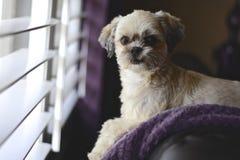 Собака окном Стоковое Изображение RF