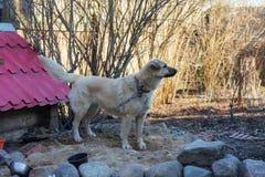 Собака около будочки собаки Стоковые Изображения
