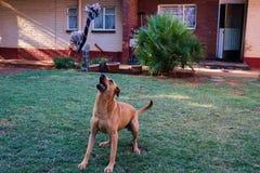 Собака около для того чтобы уловить веревочку стоковая фотография rf