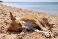 собака около красный спать моря песка Стоковая Фотография