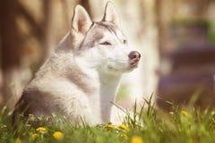 Собака осиплый сибиряк портрета Собака на лужайке одуванчиков Стоковое фото RF