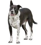 Собака остолопа при одно неповоротливое изолированное ухо Стоковые Фотографии RF