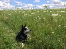 Собака ослабляя Стоковая Фотография