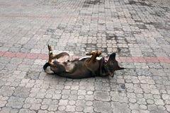 Собака отбрасывая на его назад стоковое фото rf