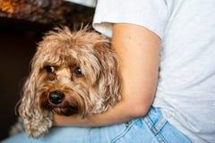 Собака отдыхая на подоле владельца стоковое фото