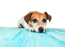 Собака отдыхает на голубой белизне предпосылки пола Стоковая Фотография RF