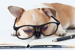 Собака офицера чихуахуа стоковые изображения rf