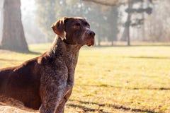 Собака охотника Стоковые Фото