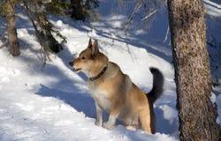 собака охотясь красная зима Стоковые Изображения RF