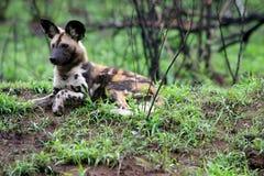 собака одичалая Стоковое Фото