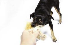 Собака перетягивания каната Стоковая Фотография RF