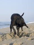 собака пляжа выкапывая Стоковые Фотографии RF