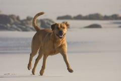 собака пляжа Стоковые Изображения