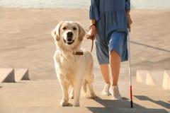 Собака-поводырь помогая слепому человеку с длинной тросточкой идя вверх лестницы стоковая фотография rf