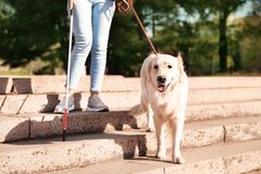 Собака-поводырь помогая слепому человеку с длинной тросточкой идя вниз с лестниц стоковые изображения rf