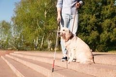 Собака-поводырь помогая слепому человеку с длинной тросточкой идя вниз с лестниц outdoors стоковое изображение