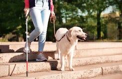 Собака-поводырь помогая слепому человеку с длинной тросточкой идя вниз с лестниц стоковое фото rf