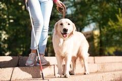 Собака-поводырь помогая слепому человеку с длинной тросточкой идя вниз с лестниц стоковые фото