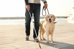 Собака-поводырь помогая слепому человеку с длинный идти тросточки стоковое фото