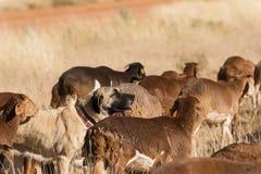 Собака поголовья защищая стоковое фото