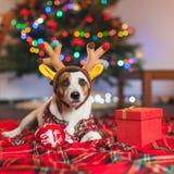 Собака под рождественской елкой стоковое изображение rf