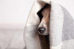 Собака под шотландкой стоковая фотография rf