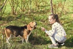Собака поезда маленькой девочки на природе лета Детская игра с другом любимчика на солнечный день Ребенк с биглем на свежем возду стоковые изображения rf